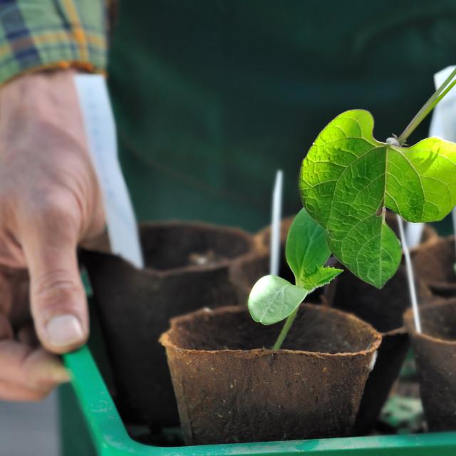 """seedling leaf in growing pot"" stock image"