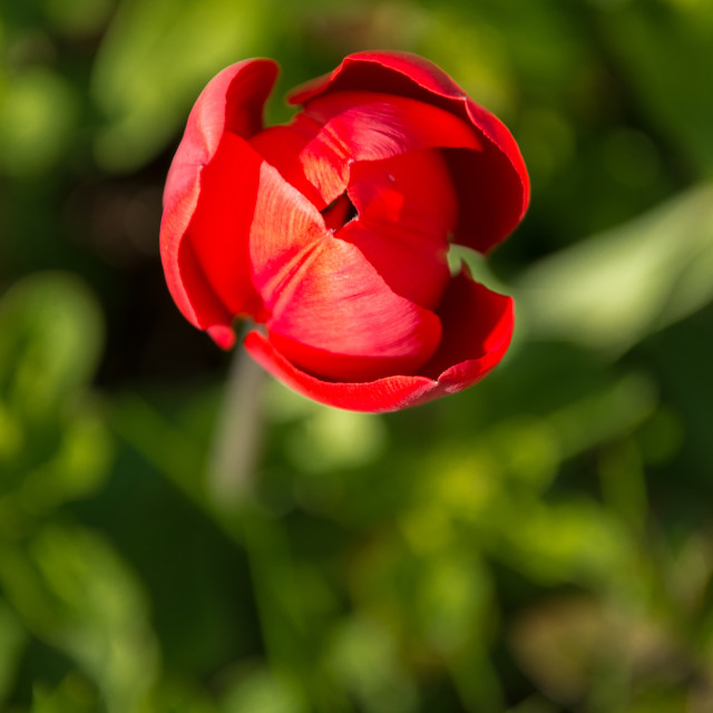 """Red tulip bud"" stock image"