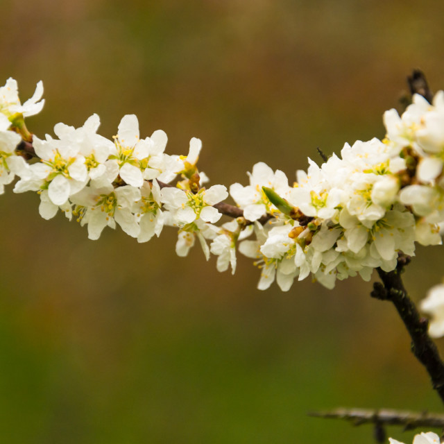 """White tree blossom"" stock image"