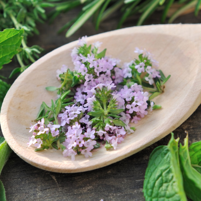 """flower thyme"" stock image"