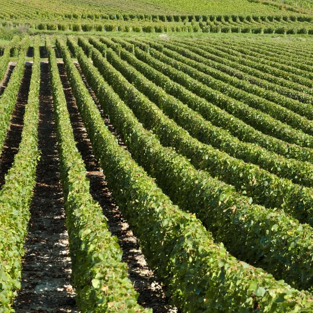"""""""vines"""" stock image"""