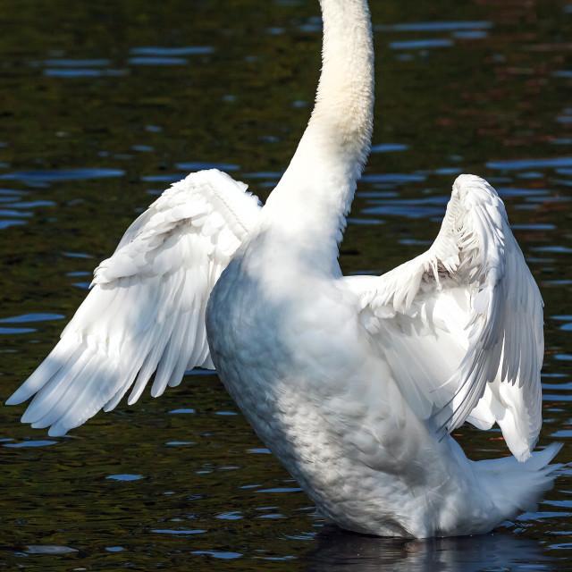 """Standing swan"" stock image"