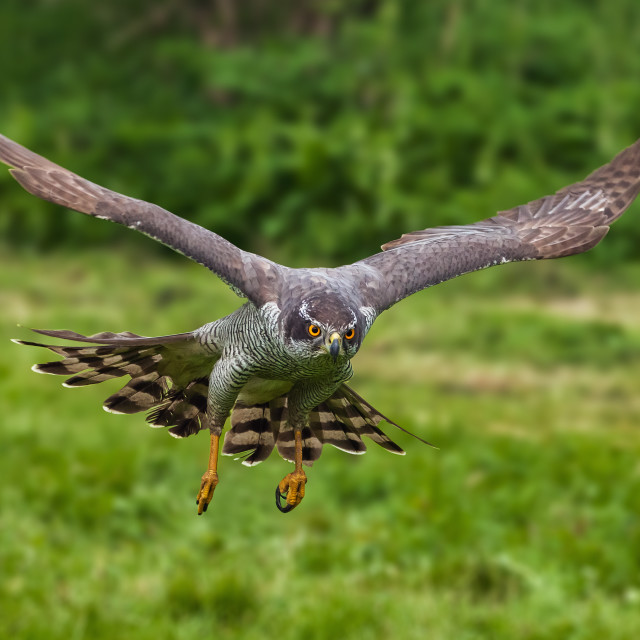 """""""Goshawk homing in on its prey"""" stock image"""