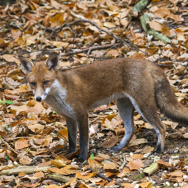 """Red Fox (Vulpes vulpes) in Autumnal Woodland England UK"" stock image"