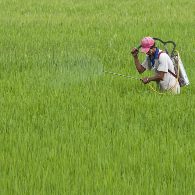 """Rice Paddy Field maintenance"" stock image"