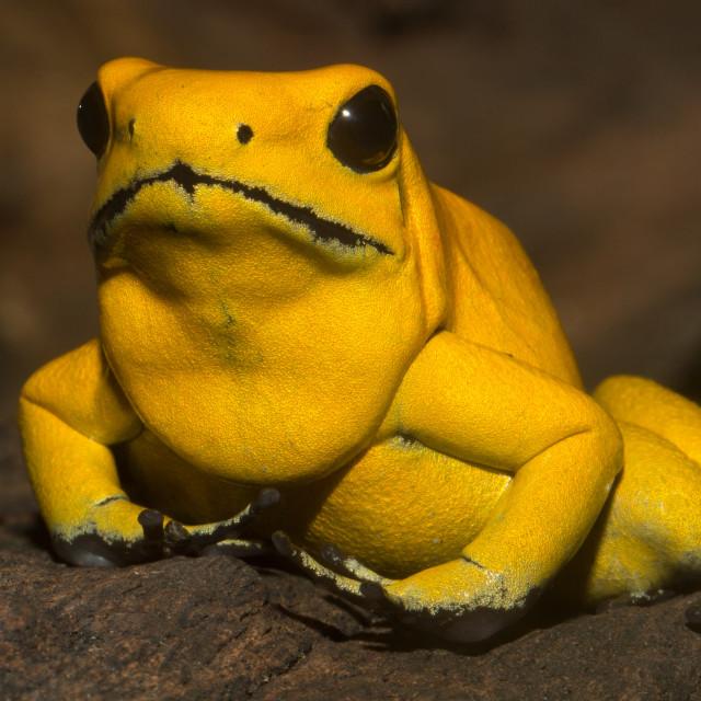 """""""Golden Poison Dart Frog"""" stock image"""