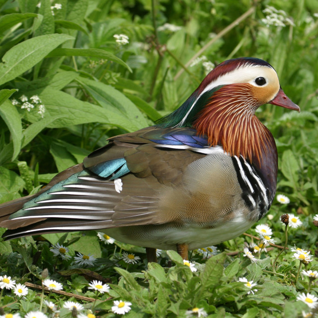 """""""Male Mandarin Duck in the Grass"""" stock image"""