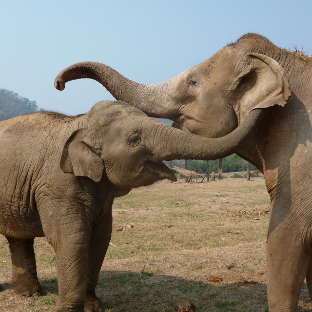 """Elephant Love"" stock image"