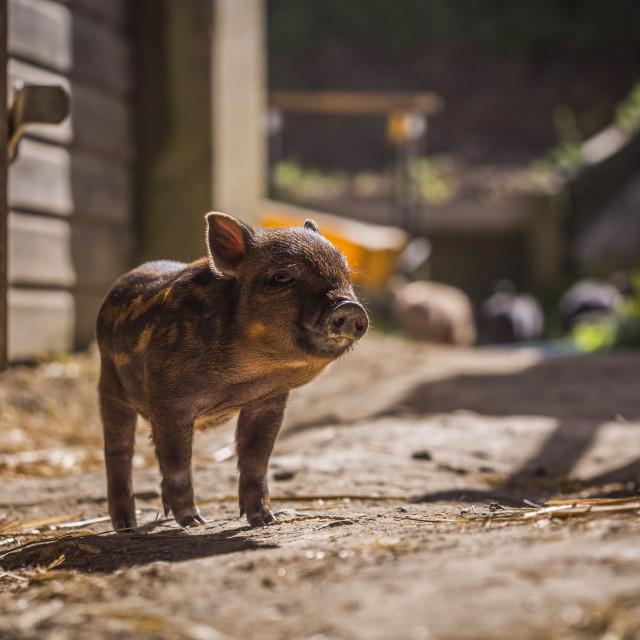 """Piglet"" stock image"