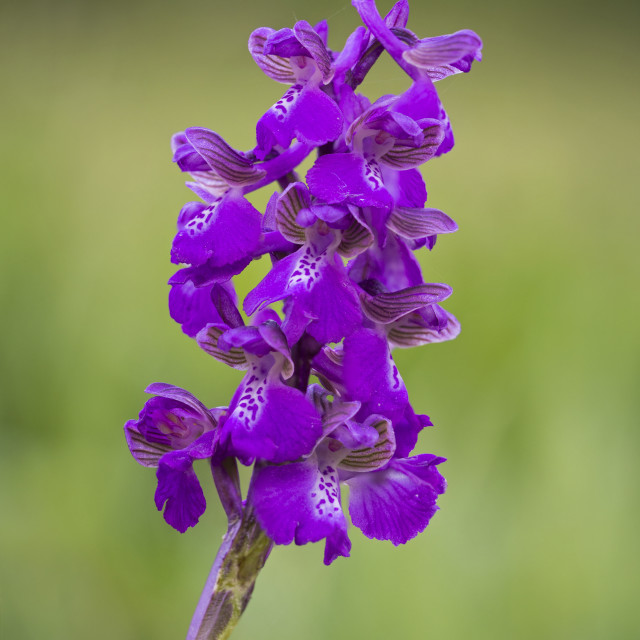 """Green Winged Orchid"" stock image"
