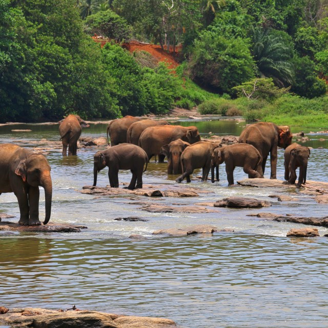"""Elephants in the river"" stock image"