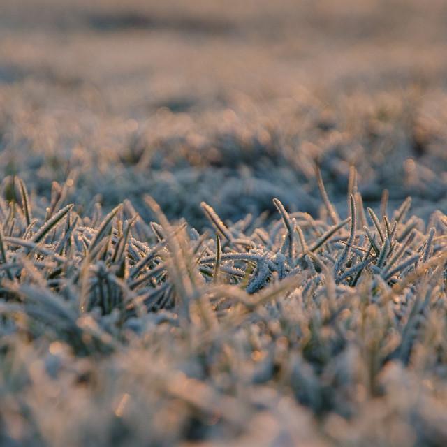 """Frosty grass"" stock image"
