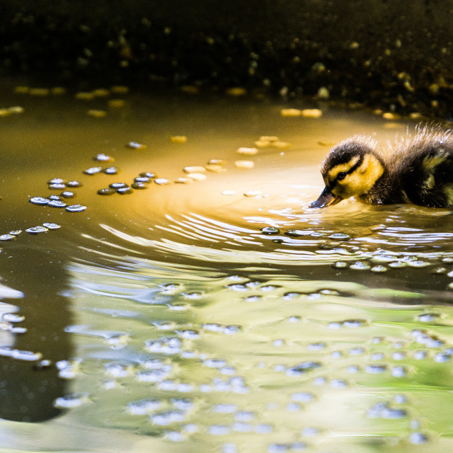 """Thirsty Duckling"" stock image"