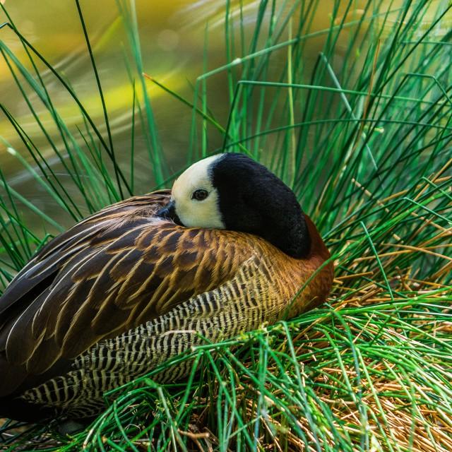 """""""Sleeping Duck"""" stock image"""