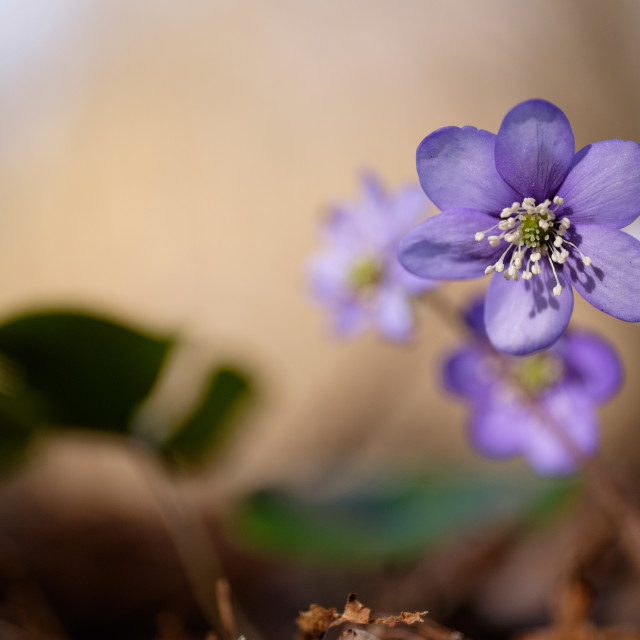 """Hepatica"" stock image"