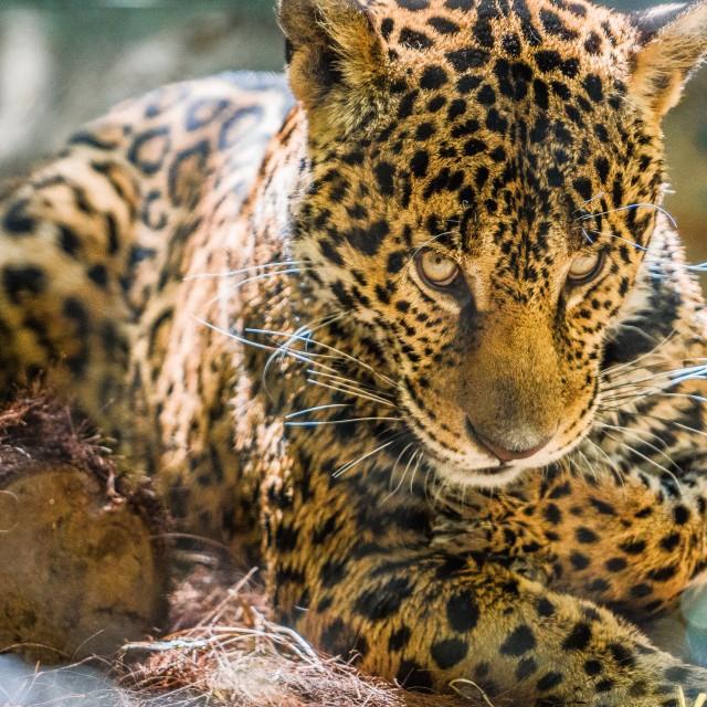"""""""PO'ed Jaguar"""" stock image"""