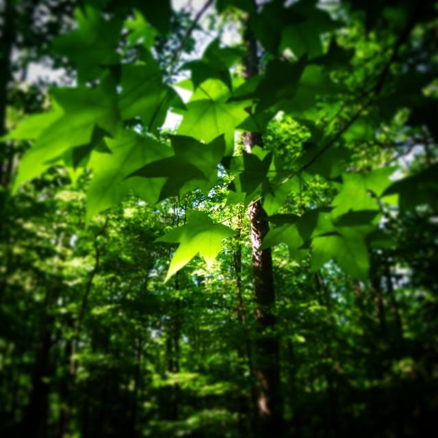 """Leaf Canopy"" stock image"