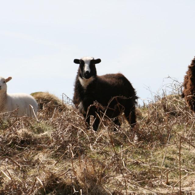 """""""Baa ram ewe"""" stock image"""