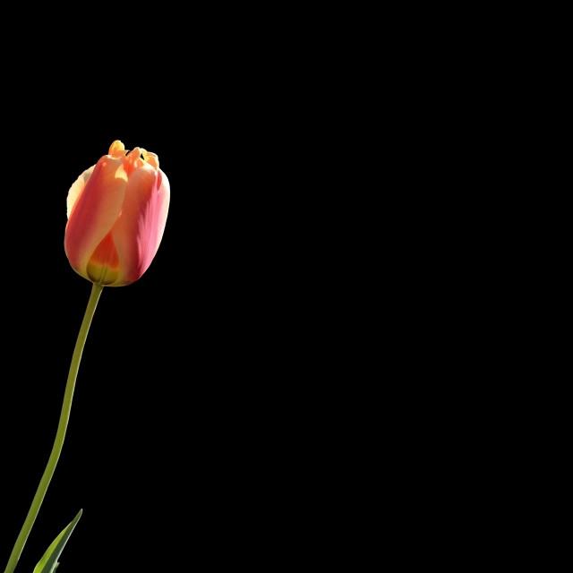 """Tulip isolated on black"" stock image"