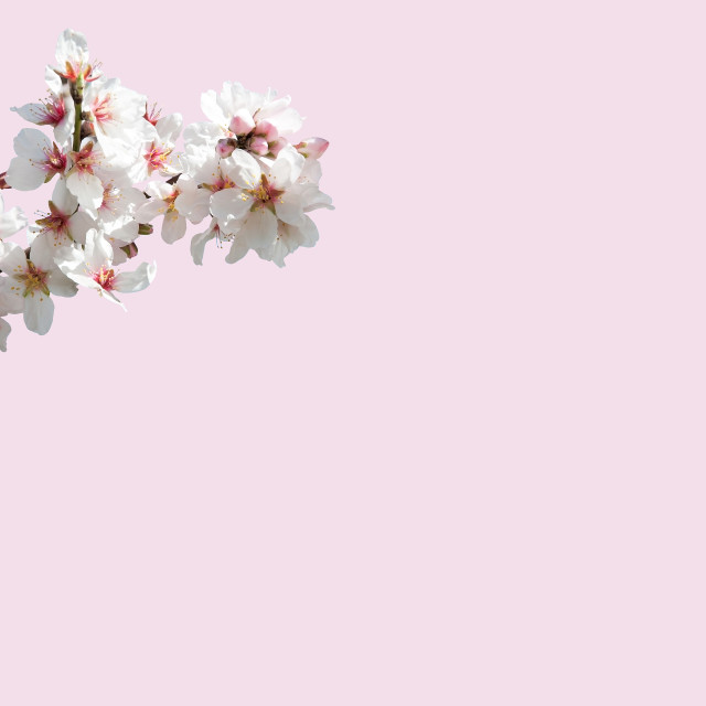 """Almond blossom on pink"" stock image"