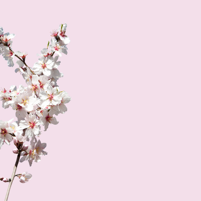 """""""Almond blossom on pink"""" stock image"""