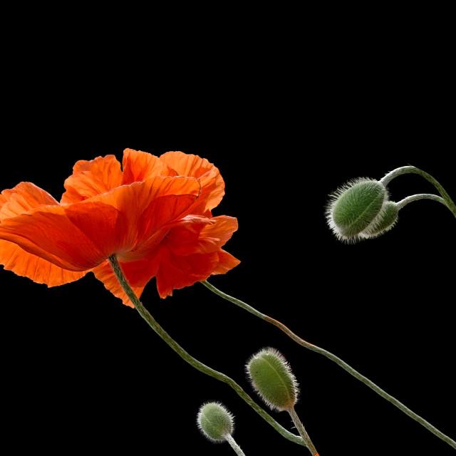 """""""Orange poppies"""" stock image"""