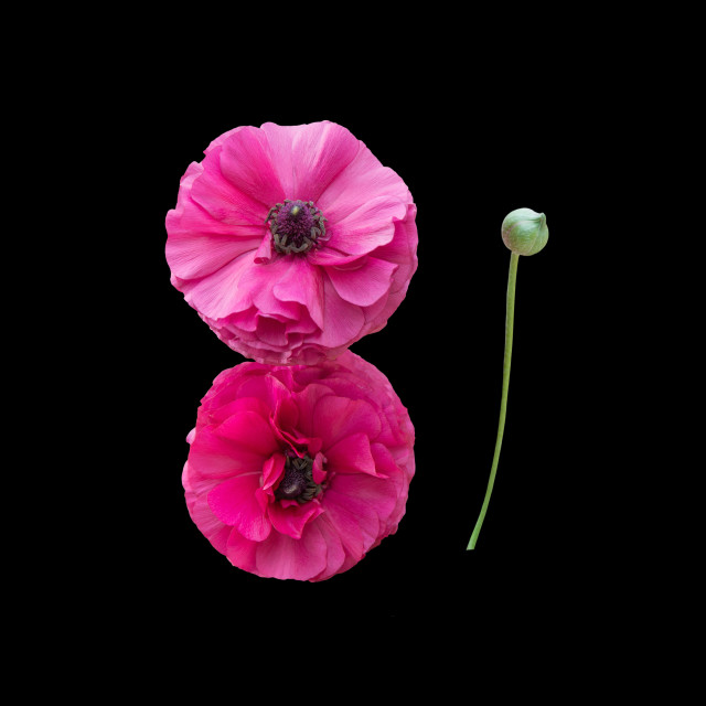 """""""Two pink ranunculus flowers"""" stock image"""