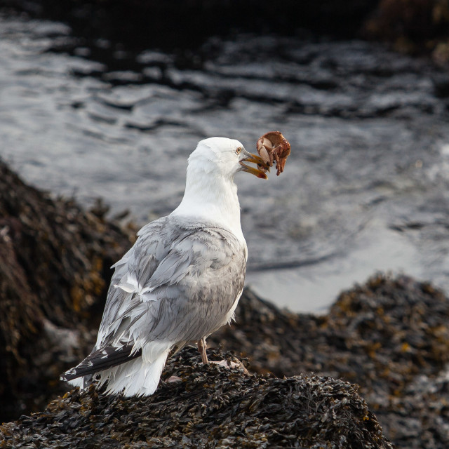 """""""Seagull with crab"""" stock image"""