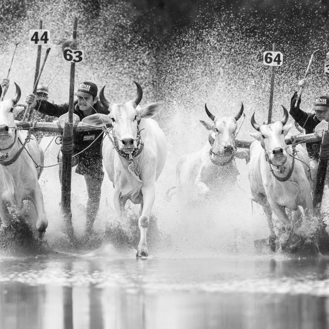 """""""Vietnam Cow racing"""" stock image"""