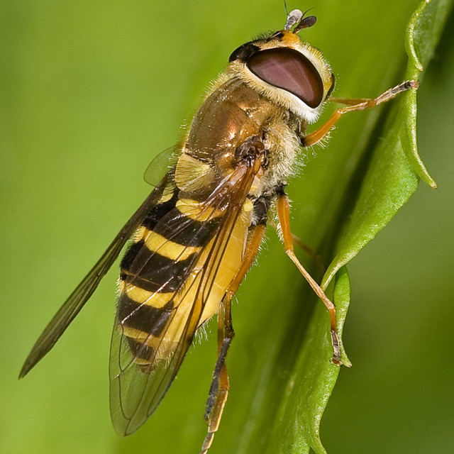 """""""Hoverfly on Edge of Leaf"""" stock image"""
