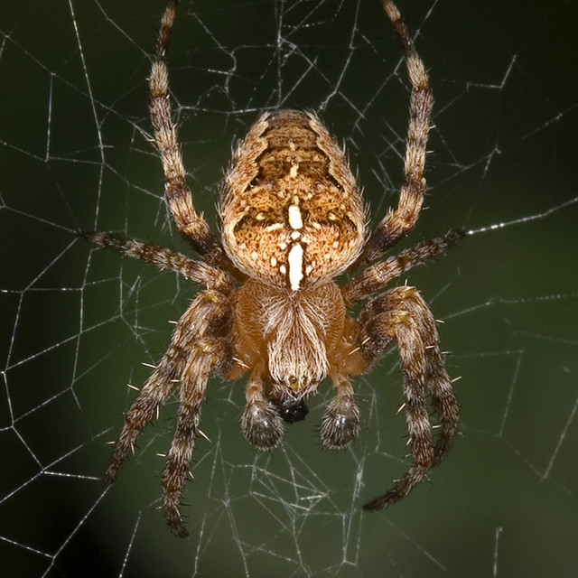 """Garden Cross Spider on Web"" stock image"