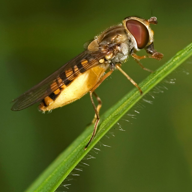 """""""Hoverfly on Grass Stalk"""" stock image"""