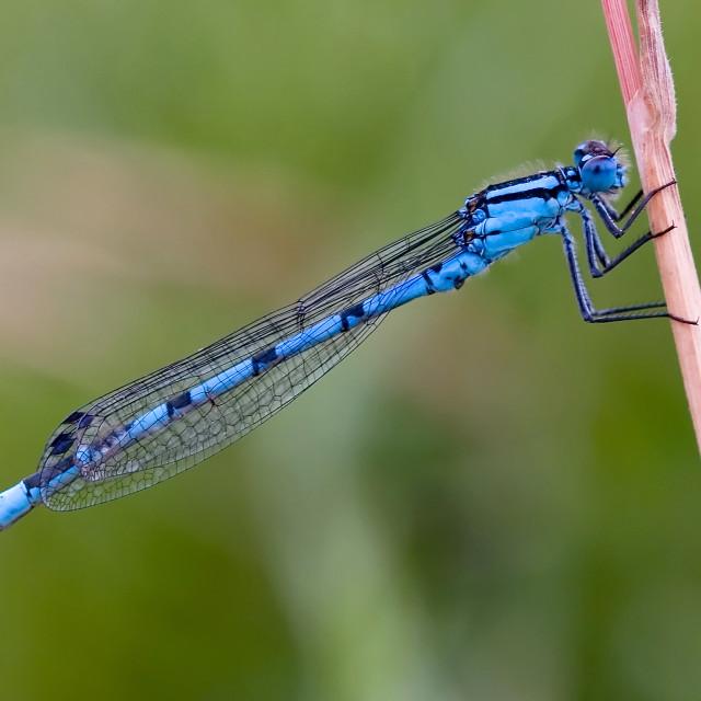 """Male Common Blue Damselfly on Stalk"" stock image"