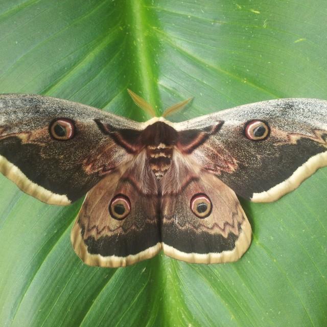 """""""Saturnia (moth)"""" stock image"""