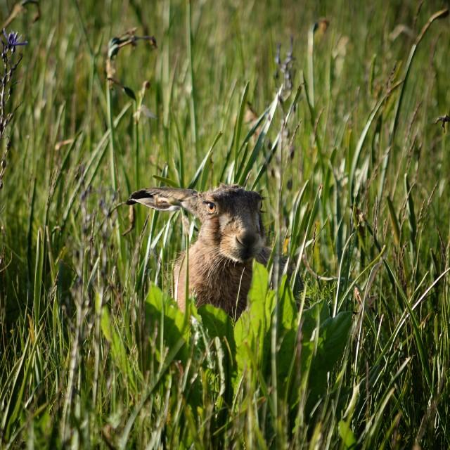 """Hare in Wildflower field"" stock image"