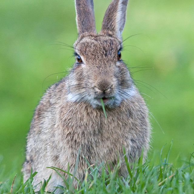 """""""Rabbit Eating a Blade of Grass"""" stock image"""