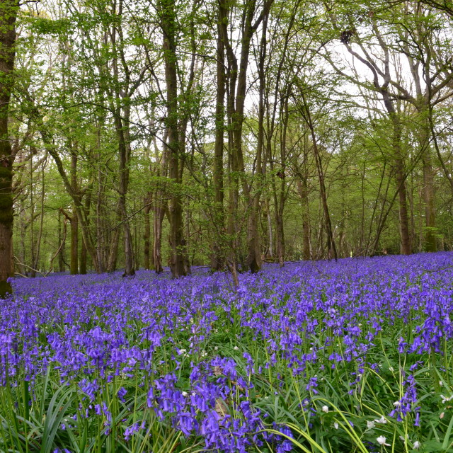 """Bluebells cover a woodland glade."" stock image"