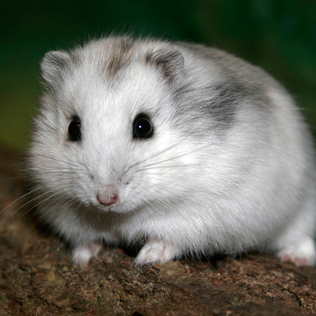 """Russian Hamster Closeup"" stock image"