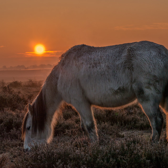 """White Horse at Dawn"" stock image"