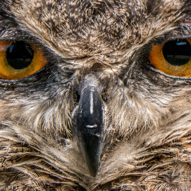 """European Eagle Owl"" stock image"