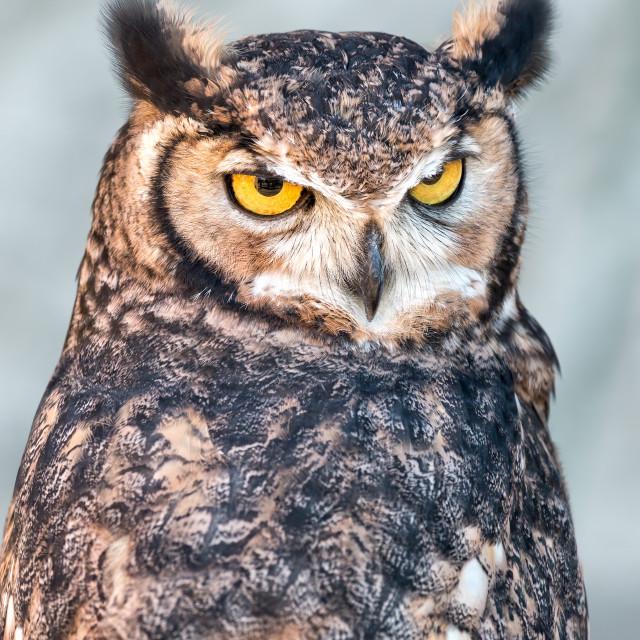 """Eurasian eagle-owl (Bubo bubo)"" stock image"