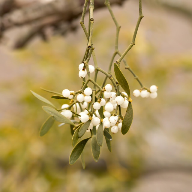 """Mistletoe white berries - Viscum album"" stock image"