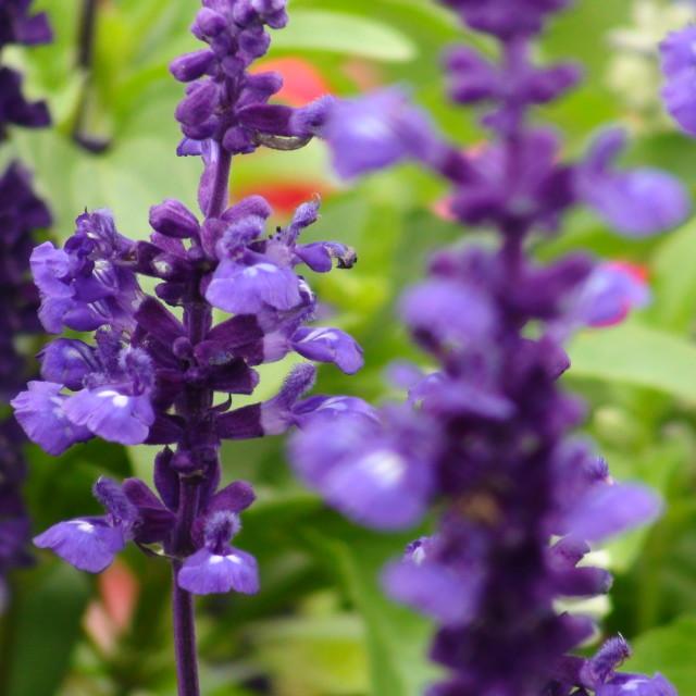 """""""Purple Flowers in London Garden"""" stock image"""