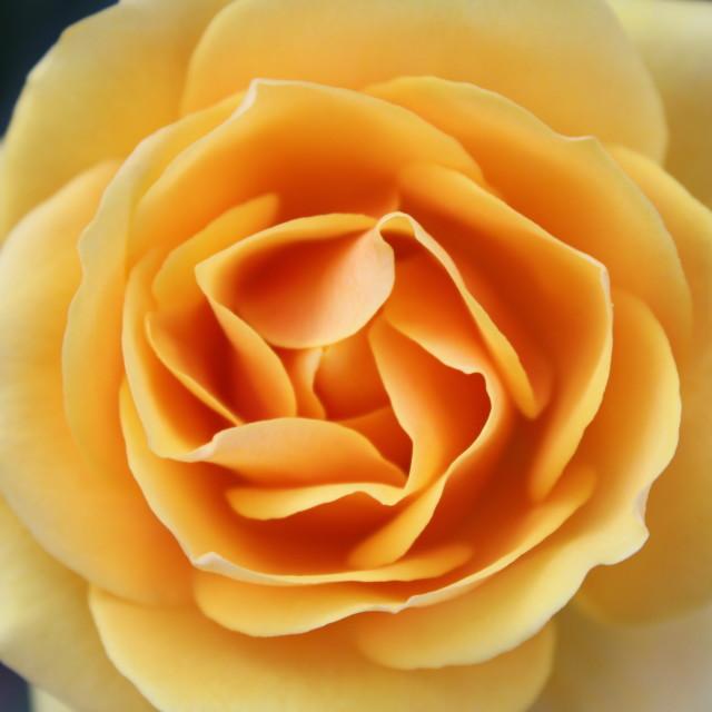 """Orange Yellow Rose"" stock image"