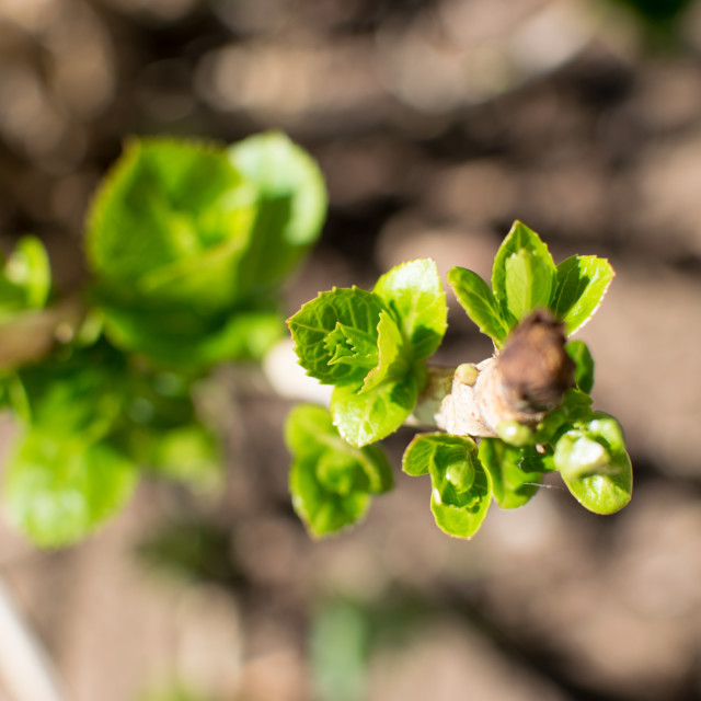 """Hydrangeas emerging in Spring"" stock image"