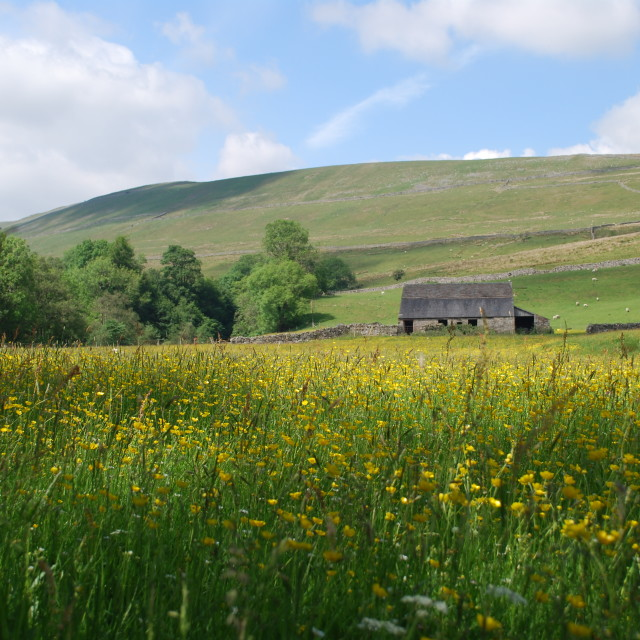 """Yorkshire Dales buttercups"" stock image"
