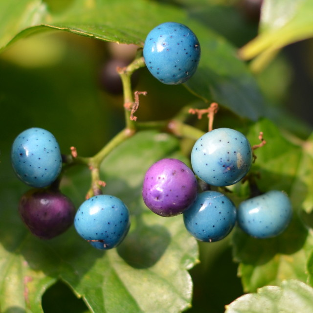 """Porcelain berries"" stock image"