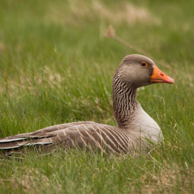 """Sitting Goose"" stock image"