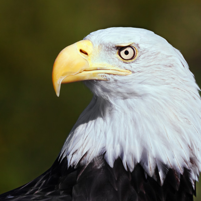 """Bald Eagle profile."" stock image"