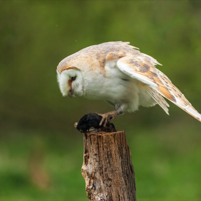 """""""Barn Owl contemplating the next meal."""" stock image"""